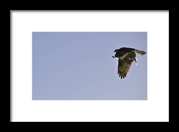 Osprey Framed Print featuring the photograph Osprey Lunch To Go III by Christine Stonebridge
