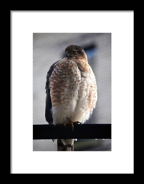 Framed Print featuring the photograph 06 Falcon by Michael Frank Jr