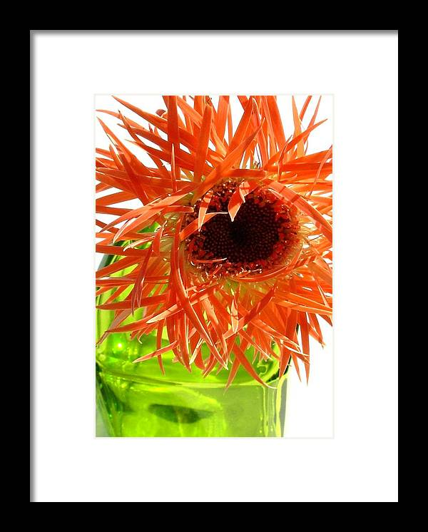 Gerbera Photographs Framed Print featuring the photograph 0690c-014 by Kimberlie Gerner