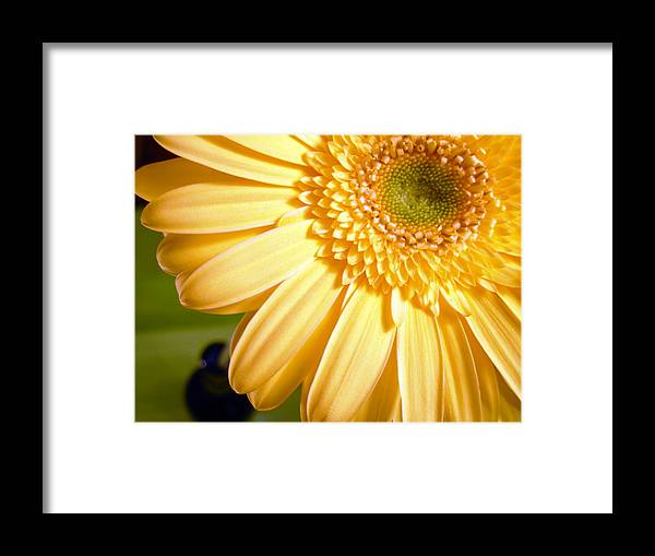 Gerbera Photographs Framed Print featuring the photograph 0741.2 by Kimberlie Gerner