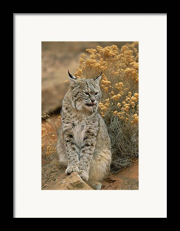 Animals Framed Print featuring the photograph A Bobcat by Norbert Rosing