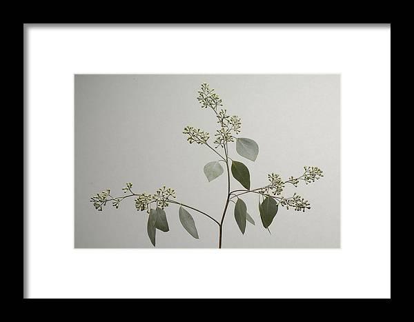 Photography Framed Print featuring the photograph A Seeded Eucalyptus Eucalyptus Cinerea by Joel Sartore