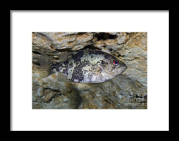 Fish Framed Print featuring the photograph A Shadow Bass Hovers Motionless by Terry Moore
