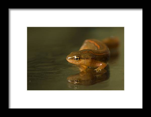 Wichita Framed Print featuring the photograph A Striped Newt Notophthalmus by Joel Sartore