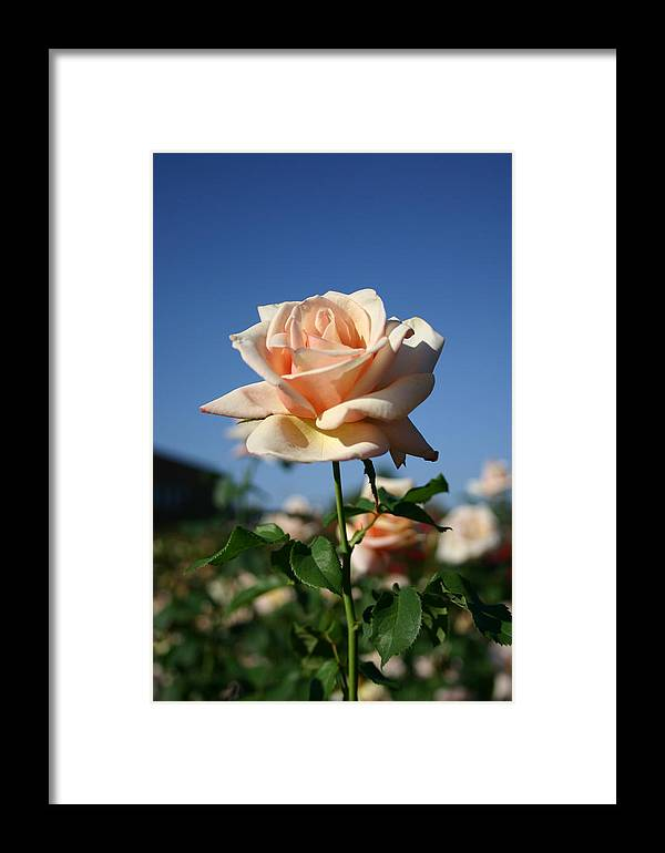 Rose Framed Print featuring the photograph A Texas Rose by Nina Fosdick