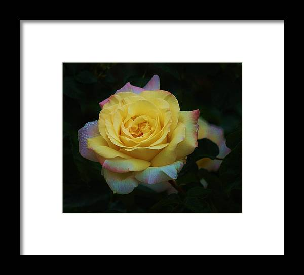 Yellow Rose Framed Print featuring the photograph After The Rain II by Helen Carson