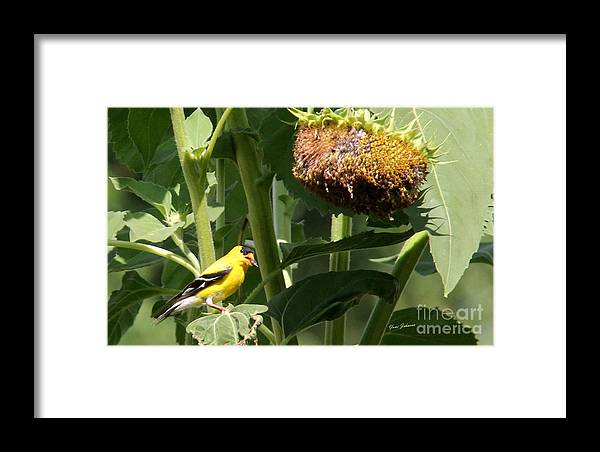 American Goldfinch Framed Print featuring the photograph American Goldfinch by Yumi Johnson