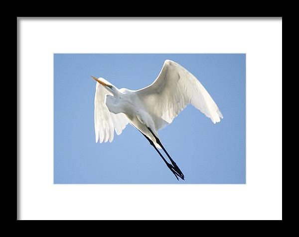 Great White Egret Framed Print featuring the photograph Angel Wings by Paulette Thomas