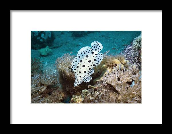 Barramundi Cod Framed Print featuring the photograph Barramundi Cod by Georgette Douwma