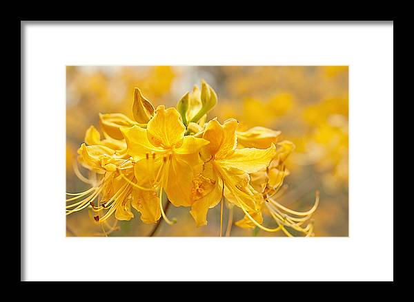 Framed Print featuring the photograph Beautiful Blossom by Kimberlee Guiditta