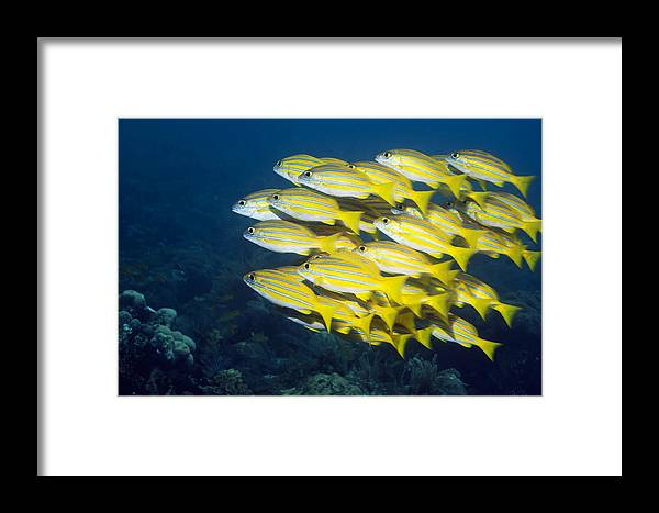 Blueline Snapper Framed Print featuring the photograph Blueline Snappers by Georgette Douwma