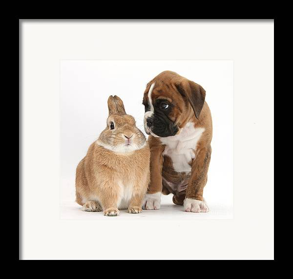 Boxer Framed Print featuring the photograph Boxer Puppy And Netherland-cross Rabbit by Mark Taylor