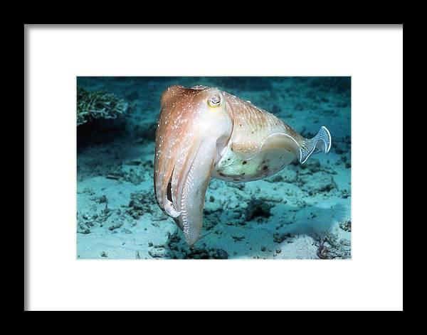 Broadclub Cuttlefish Framed Print featuring the photograph Broadclub Cuttlefish by Georgette Douwma