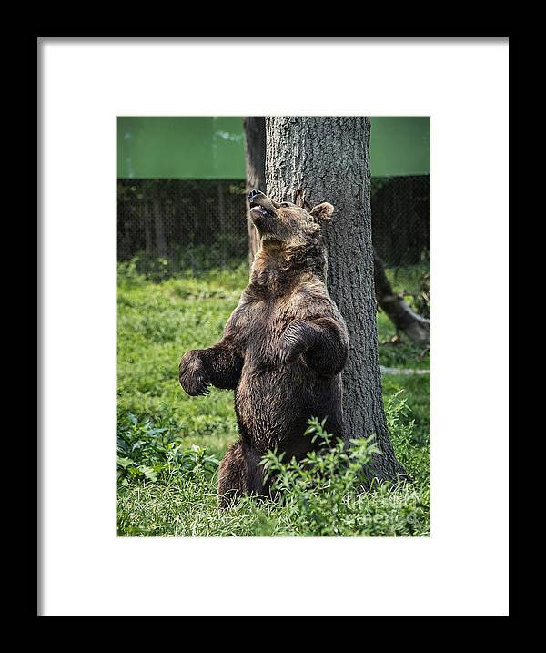 Brown Bear Framed Print featuring the photograph Brown Bear Itch by John Greim