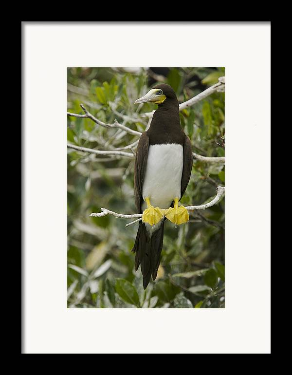 Photography Framed Print featuring the photograph Brown Booby, Sula Leucogaster by Tim Laman