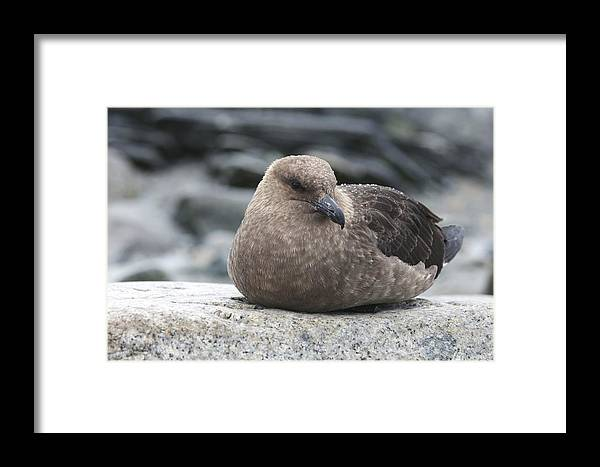 Falkland Skua Framed Print featuring the photograph Brown Skuas by Louise Murray