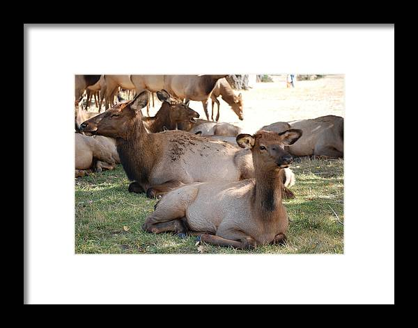 Elk Framed Print featuring the photograph Calf Elk by Richard Adams