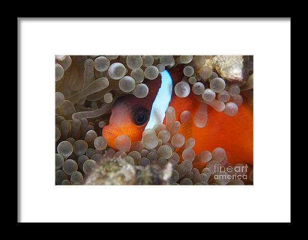 Amphiprion Melanopus Framed Print featuring the photograph Cinnamon Clownfish In Its Host Anemone by Terry Moore