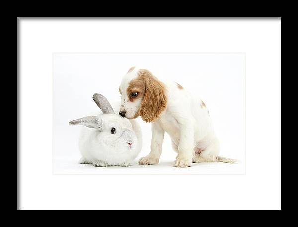 Nature Framed Print featuring the photograph Cocker Spaniel And Rabbit by Mark Taylor