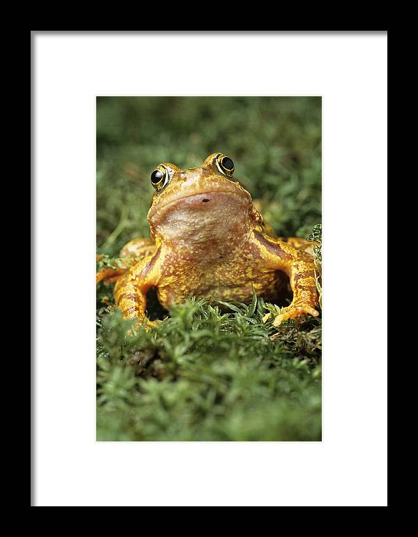 Rana Temporaria Framed Print featuring the photograph Common Frog by David Aubrey