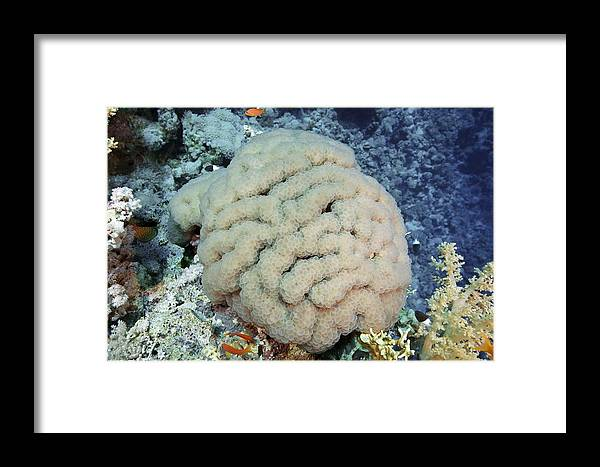 Animal Framed Print featuring the photograph Coral by Alexander Semenov