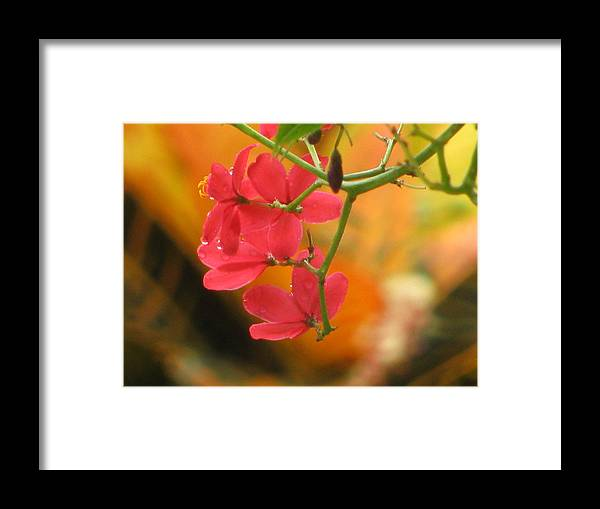 Flower Framed Print featuring the photograph Coral Bush by Alfred Ng