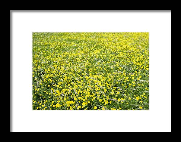 Flower Framed Print featuring the photograph Corn Marigolds (chrysanthemum Segetum) by Adrian Bicker