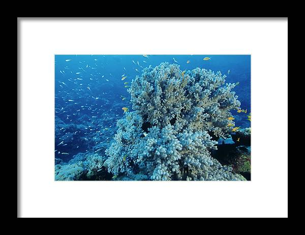 Damselfish Framed Print featuring the photograph Damselfish Shoal by Alexis Rosenfeld