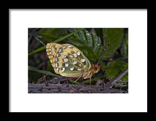 Argynnis Aglaja Framed Print featuring the photograph Dark Green Fritillary Butterfly by Dr Keith Wheeler
