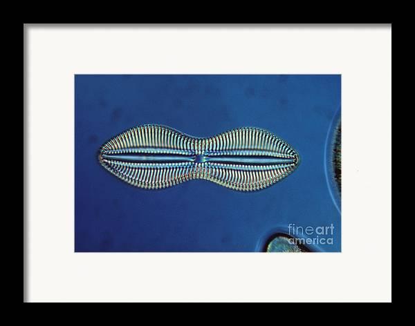 Diatom Framed Print featuring the photograph Diatom - Diploneis Crabro by Eric V. Grave