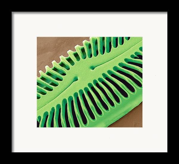 Pinnularia Sp Framed Print featuring the photograph Diatom Frustule, Sem by Steve Gschmeissner