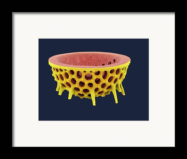Frustule Framed Print featuring the photograph Diatom, Sem by David Mccarthy