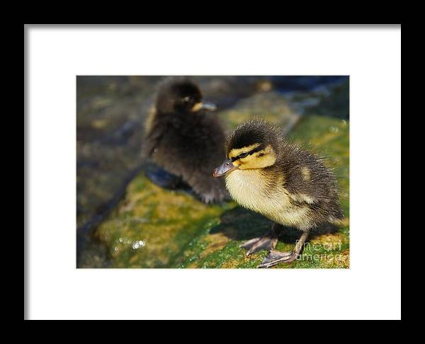 Duckling Framed Print featuring the photograph Ducklings by Alan Clifford