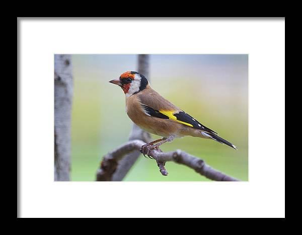 European Goldfinch Framed Print featuring the photograph European Goldfinch by Celine Pollard