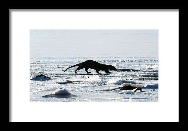 Lutra Lutra Framed Print featuring the photograph European Otter On Sea Ice by Duncan Shaw