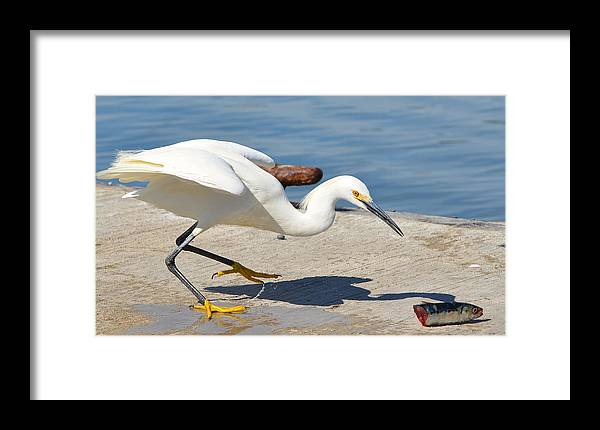 Snowy White Egret Framed Print featuring the photograph Fish Tale by Fraida Gutovich