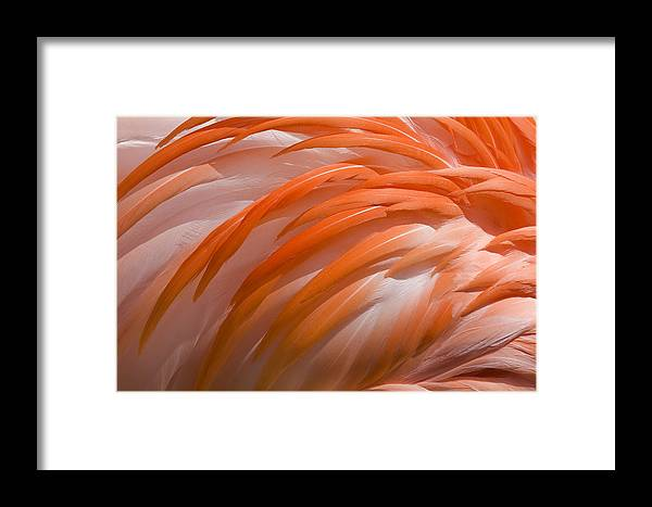 Flamingo Framed Print featuring the photograph Flamingo Feathers by Jeff Grabert