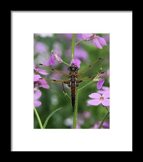 Four-spotted Skimmer Framed Print featuring the photograph Four-spotted Skimmer by Doris Potter