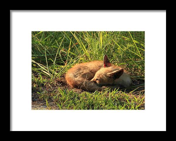 Fox Framed Print featuring the photograph Fox Kit by DK Hawk
