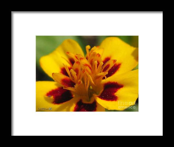 French Marigold Framed Print featuring the photograph French Marigold Named Starfire by J McCombie
