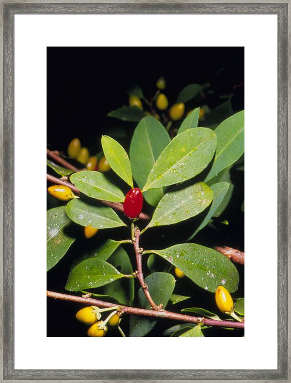 Art print POSTER CANVAS Leaves and Berries of Coca Plant