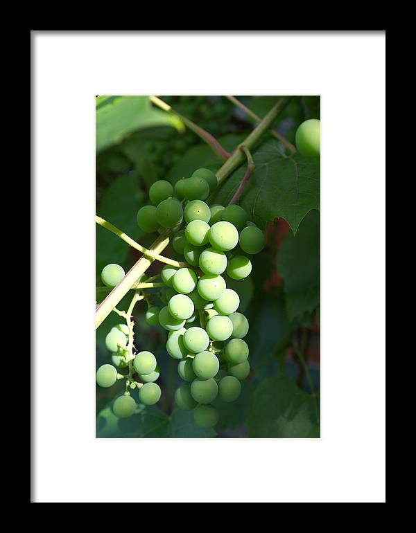 Green Framed Print featuring the photograph Green Grape Bunch by Igor Sinitsyn