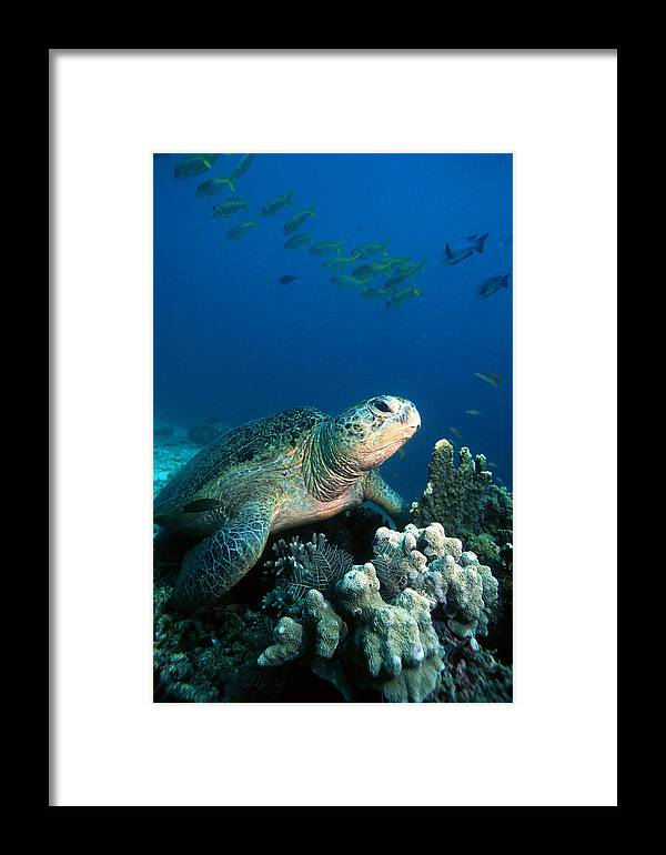 Green Turtle Framed Print featuring the photograph Green Turtle by Georgette Douwma