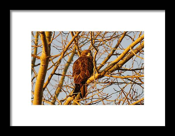Hawks Framed Print featuring the photograph Hawk In A Tree by Jeff Swan