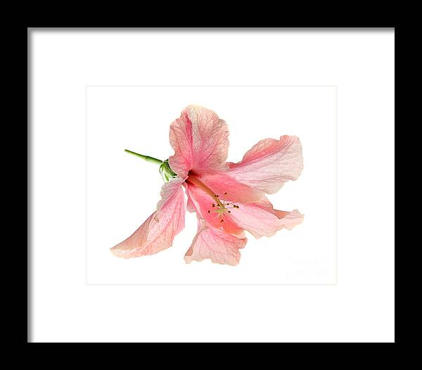High Framed Print featuring the photograph Hibiscus by Nicholas Burningham