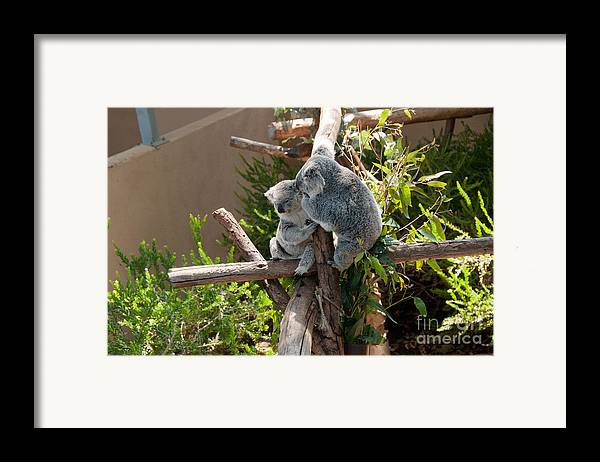 Animals Framed Print featuring the digital art Koala by Carol Ailles