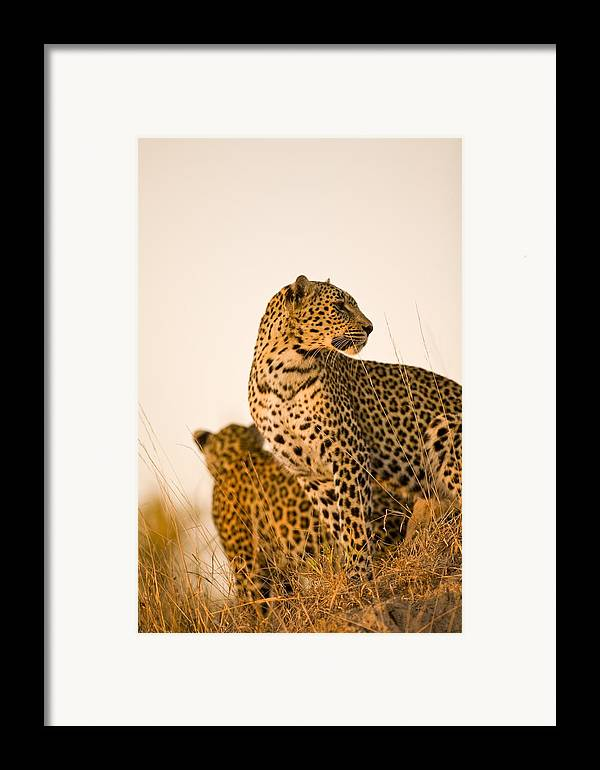African Framed Print featuring the photograph Leopard Panthera Pardus, Arathusa by Stuart Westmorland