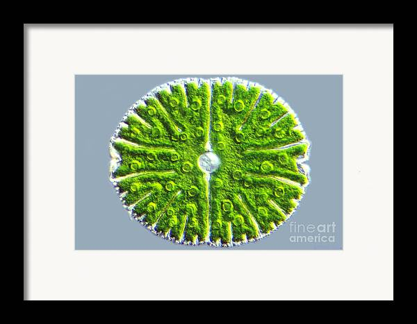 Light Microscopy Framed Print featuring the photograph Micrasterias Denticulata by M. I. Walker