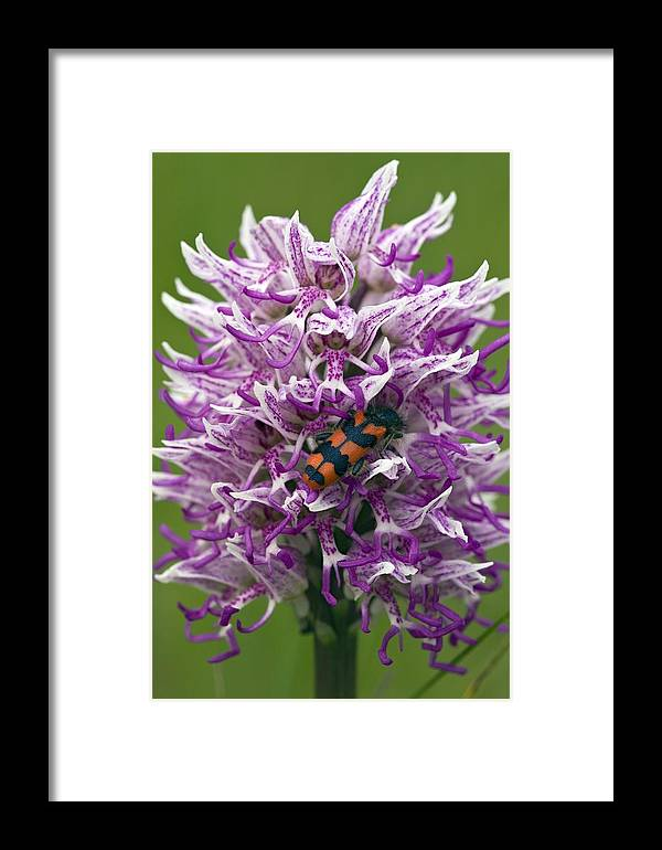 Bee Beetle Framed Print featuring the photograph Monkey Orchid (orchis Simia) by Bob Gibbons