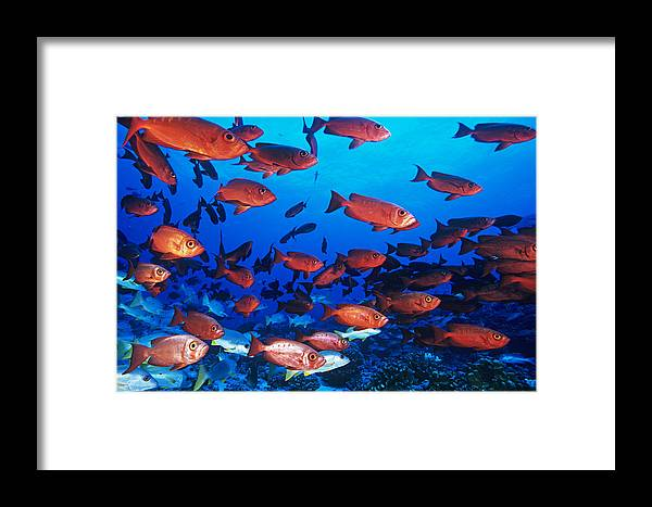 Priacanthus Hamrur Framed Print featuring the photograph Moontail Bullseye Fish by Alexis Rosenfeld